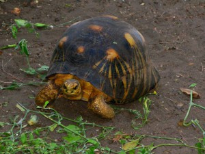 Tortue de datation de carbone