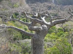 baobab5